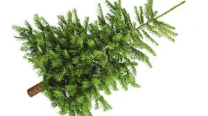 real christmas tree news collection of real christmas trees news wiltshire council