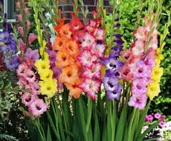 gladiolus flowers gladiolus flower at rs 4 gladiolus flower id 11749254988
