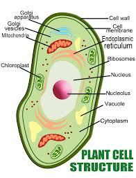 anatomy of the plant cell vs a human cell interactive biology
