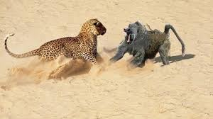 when prey fights back lion vs warthog leopard vs crocodile