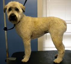 wheaten haircuts wheaten terrier owners grooming