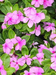 vinca flower vinca annual grow guide