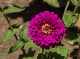 benary u0027s giant purple zinnia flower stock photo image 55879429
