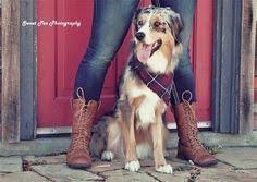 australian shepherd dogtime australian shepherd dog breed information pictures