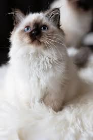 best 25 fluffy kittens ideas on pinterest adorable kittens