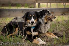 australian shepherd queen creek az cowgirl puppy ranch