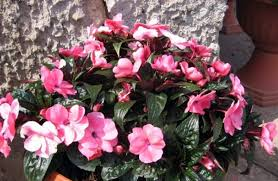 easy flowers to grow indoors easy to grow houseplants that flower my web value