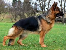 price for a what is the price of a german shepherd in india