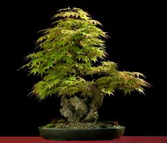 bonsai saule pleureur acer palmatum érable palme bonsaï arbres en pots pinterest