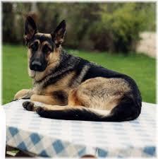 belgian sheepdog origin belgian shepherd dog malinois rocky photo and wallpaper