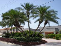 Backyard Trees Landscaping Ideas Palm Trees In Landscape Design Inspiring Palm Tree Landscaping