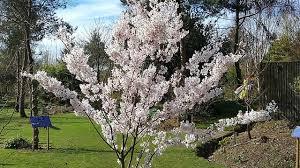 prunus pandora flowering cherry