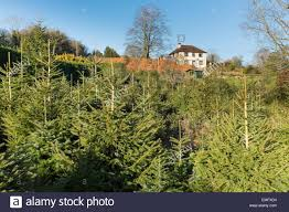 christmas tree farm uk christmas lights decoration