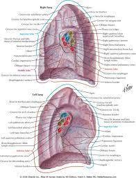 Human Anatomy Respiratory System Netter Anatomy Broncopulmonar Pinterest Love You Love And Lungs