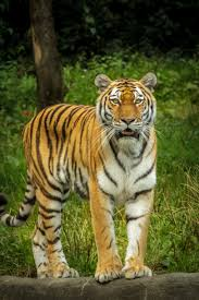tiger in green grass near the tree during daytime free stock photo