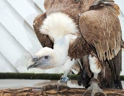 Zoo Increases Sales And Enhances Vulture At Colchester Zoo Died From Shock After Being Attacked By