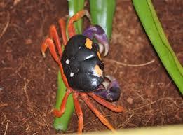 halloween crab image gecarcinus quadratus halloween crab biolib cz