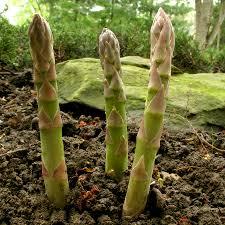 perennial garden vegetables growing asparagus u2013 a perennial for the vegetable garden welcome