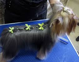 silky terrier with haircut yorkie haircuts for males and females 60 pictures yorkie life
