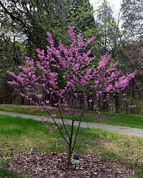 tree with purple flowers redbud