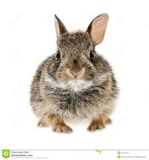 baby cottontail bunny rabbit royalty free stock photos image