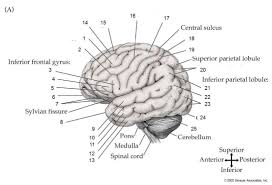 photos brain anatomy diagram quiz human anatomy diagram