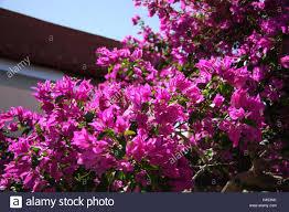 bougainvillaea detail twigs blossoms shrub plant climbing