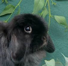 30 cute images animals baby bunnies mini lop