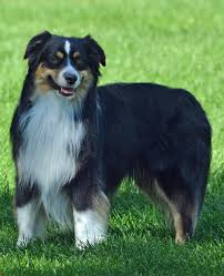 australian shepherd jump height males mini aussies 74 ranch mini aussies registered black angus