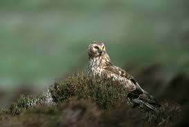 wild bird crime and the birdcrime report the rspb