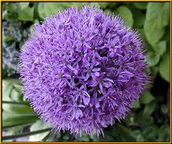 allium flowers bulbs allium
