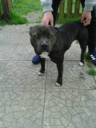 american pitbull terrier gumtree staffy in workington cumbria gumtree