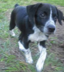 australian shepherd jack russell mix ryder the aussie heeler puppy adopted the dog liberator