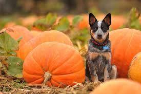 dogs pumpkin autumn halloween wallpaper 2048x1365 195916