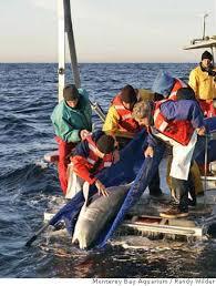 monterey more room to grow aquarium lets young white shark go
