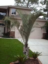 sylvester palm tree sale palm trees of houston prices palm tree prices palm tree specials