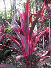 ti plant plants