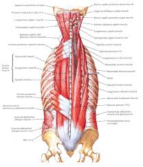 Anatomy And Physiology Of The Back Intermediate Muscles Of The Back Anatomy Organ