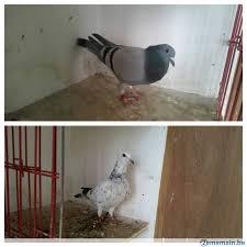 cuisine des pigeons voyageurs cuisine des pigeons voyageurs 100 images pigeon voyageur un