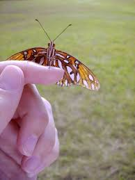 free butterfly on finger 8 stock photo freeimages com