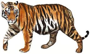 how to draw a tiger draw by