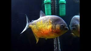piranha species and types aquarium fish guide youtube