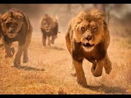 imagenes de leones salvajes gratis leones crueles asesinos documental hd documentales online gratis