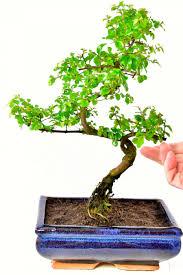 indoor bonsai tree chinese sweet plum sageretia theezans