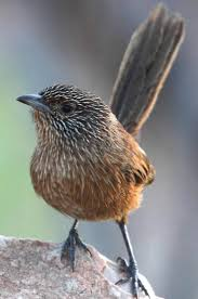 101 best outback birds images on pinterest beautiful birds