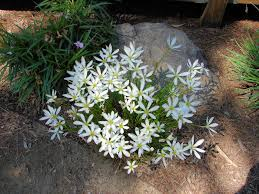Rain Lily White Rain Lily Zephyranthes Candida Xeriscape Landscaping