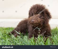 dogs with curly hair and floppy ears chocolate brown labradoodle puppy dog lays stock photo 483709474