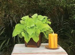 margarita sweet potato vine ipomoea batatas proven winners