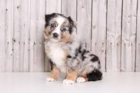 australian shepherd dog puppies view ad australian shepherd puppy for sale ohio mount vernon usa
