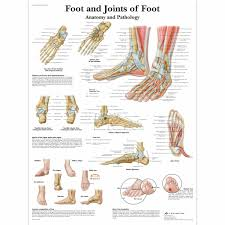 Anatomy Of A Foot Anatomy Of Foot Ankle Human Anatomy Library